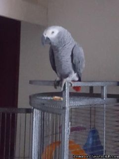 Two beautiful Talking Africa Grey Parrots for adoption for Christmas