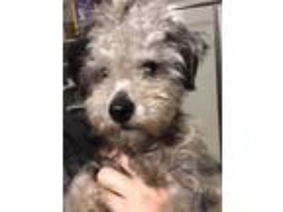 Adopt Reiki a Gray/Silver/Salt & Pepper - with White Poodle (Miniature) /