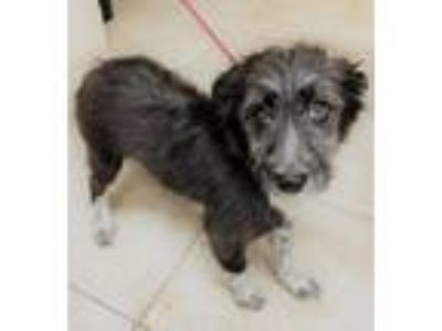 Adopt Milady a Border Collie, Terrier