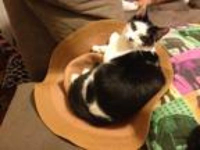 Adopt Panda a Black & White or Tuxedo Domestic Shorthair / Mixed cat in New