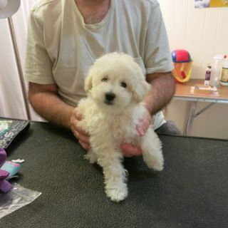 Poodle (Toy) PUPPY FOR SALE ADN-90195 - AKC White Male