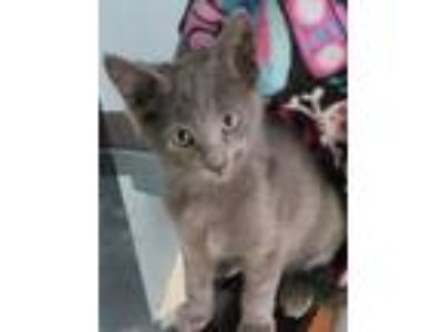 Adopt Theodore a Gray or Blue Domestic Mediumhair cat in Azle, TX (25570196)