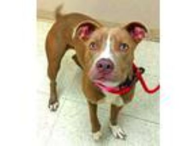 Adopt Nova a Brown/Chocolate American Pit Bull Terrier / Mixed dog in