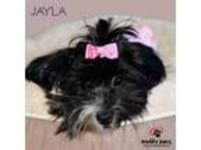 Adopt Jayla-No Longer Accepting Applications a Shih Tzu, Poodle