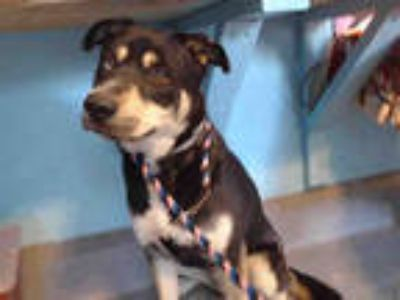 Adopt SIMBA a Black - with White Husky / Mixed dog in Baldwin Park