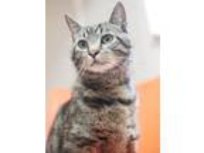 Adopt Duncan a Domestic Short Hair