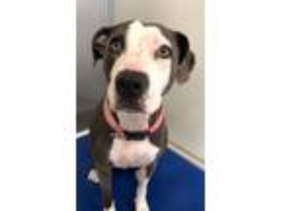 Adopt Princess a American Staffordshire Terrier