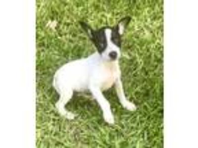 Adopt Lace in Texarkana, TX a Rat Terrier