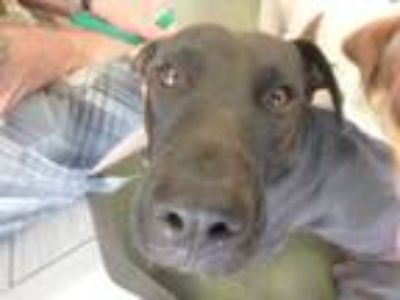 Adopt mama's a Black American Pit Bull Terrier / Mixed dog in Honolulu