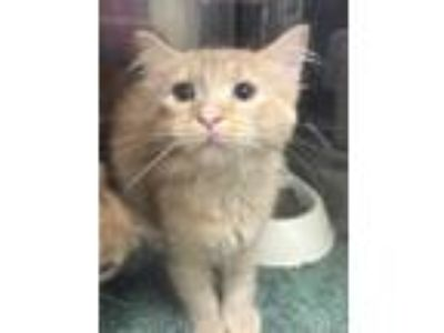 Adopt Smurfette a Orange or Red Domestic Longhair / Domestic Shorthair / Mixed