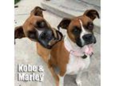 Adopt Kobe a Tan/Yellow/Fawn - with White Boxer / Mixed dog in Encino