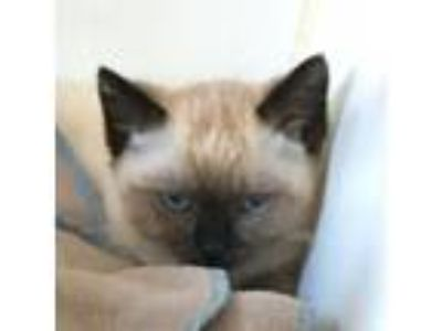 Adopt Persephone a Cream or Ivory (Mostly) Siamese / Mixed cat in Oakland