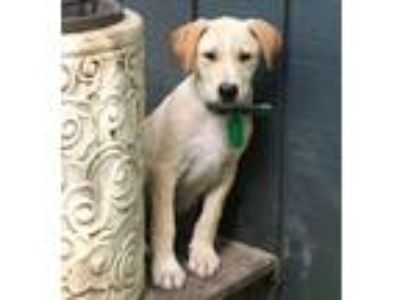 Adopt Elvis - beautiful lab mix puppy a Labrador Retriever