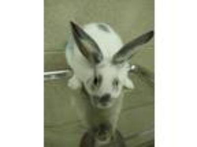 Adopt Flame a White American Fuzzy Lop / Other/Unknown / Mixed rabbit in