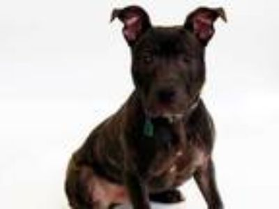 Adopt MILO a Brindle - with White American Pit Bull Terrier / Mixed dog in St.