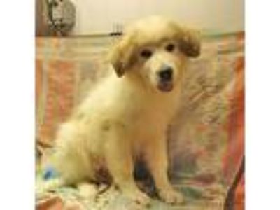 Adopt Khan a White Great Pyrenees / Mixed dog in Fayetteville, TN (25611312)