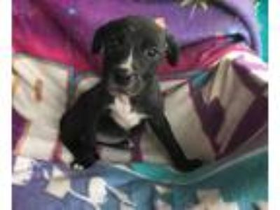 Adopt Inca (Fostered in TN) a Black - with White Labrador Retriever / Pit Bull