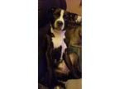 Adopt Saphira a Black - with White American Pit Bull Terrier / Mixed dog in