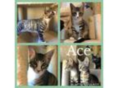 Adopt Ace a Brown Tabby Domestic Shorthair (short coat) cat in Fate