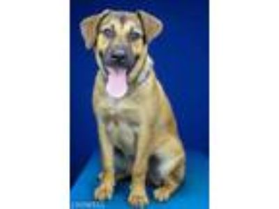 Adopt Sasha-061213M a Brown/Chocolate Shepherd (Unknown Type) / Mixed dog in