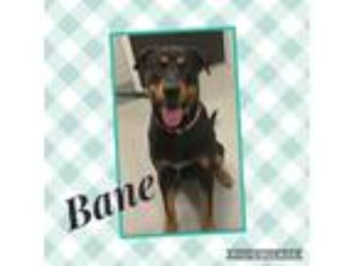 Adopt Bane a Black - with Tan, Yellow or Fawn Rottweiler dog in Dickson
