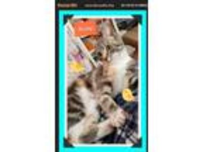 Adopt Bailey a Tiger Striped American Shorthair (short coat) cat in Snow Camp
