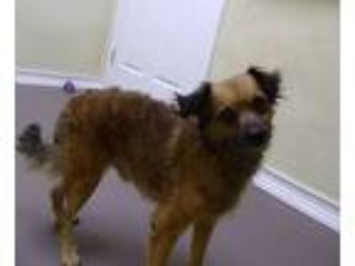 Adopt Chester a Terrier, Poodle