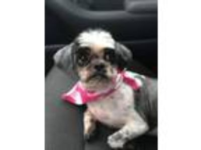 Adopt Doris a Shih Tzu, Mixed Breed