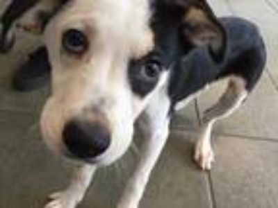 Adopt BRUCE a Black - with White American Staffordshire Terrier / Mixed dog in
