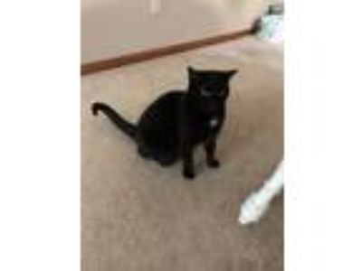 Adopt Chloe a Black (Mostly) Domestic Shorthair cat in Holt, MO (25522008)