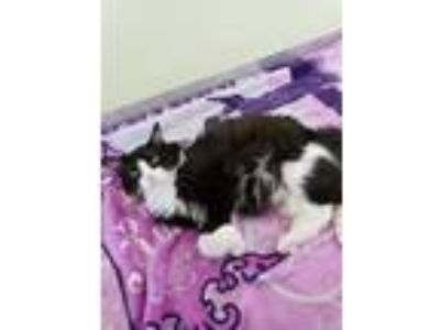Adopt Leo Marvin a Black & White or Tuxedo Domestic Longhair / Mixed (long coat)