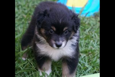Miniature American Shepherd Puppies - Nova & Jasper