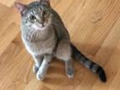 Adopt Tommy a Domestic Shorthair / Mixed cat in Charlottesville, VA (25559352)