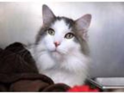 Adopt Zhen a White Domestic Mediumhair / Domestic Shorthair / Mixed cat in