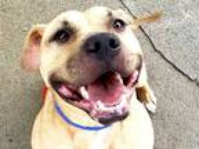 Adopt Cinder a Tan/Yellow/Fawn - with White Pit Bull Terrier / Mixed dog in