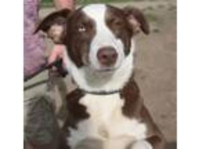 Adopt Lady a Border Collie