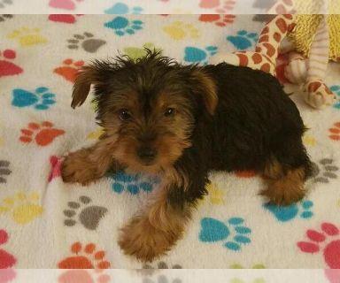 Yorkshire Terrier PUPPY FOR SALE ADN-131362 - Yorkshire Terrier Puppy