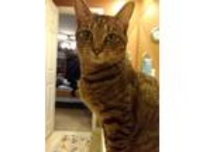 Adopt Minnie a Brown Tabby Domestic Shorthair / Mixed (short coat) cat in