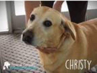 Adopt Christy a Golden Retriever