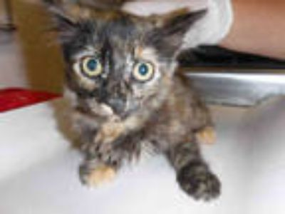 Adopt a Tortoiseshell Domestic Longhair / Mixed (long coat) cat in Long Beach