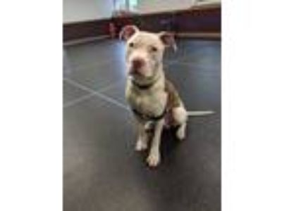 Adopt Dozer a White American Pit Bull Terrier / Mixed dog in Glenville