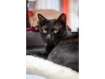 Adopt Nick Furry a Domestic Shorthair / Mixed (short coat) cat in Sebastian