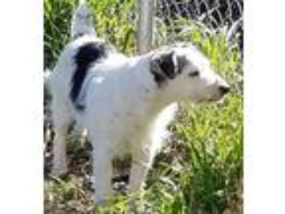 Adopt Ziggy (in Red Bluff) a White - with Black Jack Russell Terrier / Mixed dog