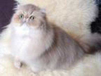 Silver & Golden Persian Kittens For Sale