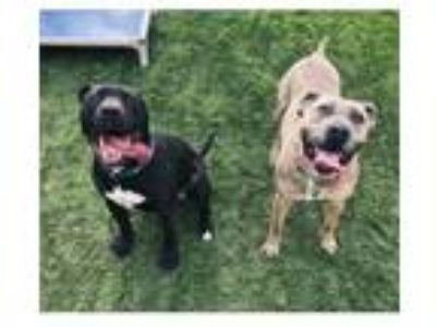 Adopt Maggie Moo a Pit Bull Terrier