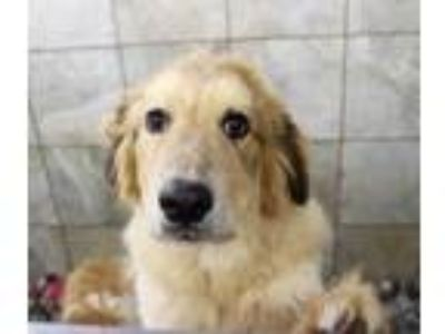 Adopt Larry a White Great Pyrenees / Mixed dog in Bloomingdale, IL (25863739)