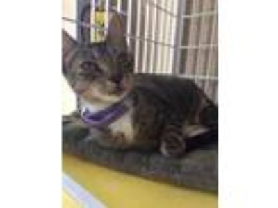 Adopt Heather a Brown or Chocolate Domestic Shorthair / Domestic Shorthair /