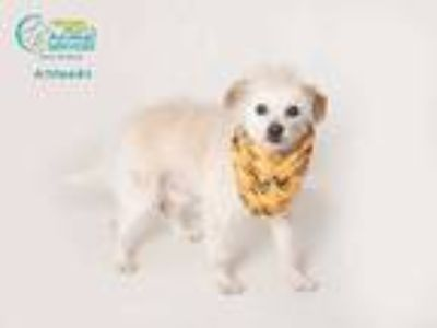 Adopt MANNY a White Norfolk Terrier / Mixed dog in Camarillo, CA (24973610)