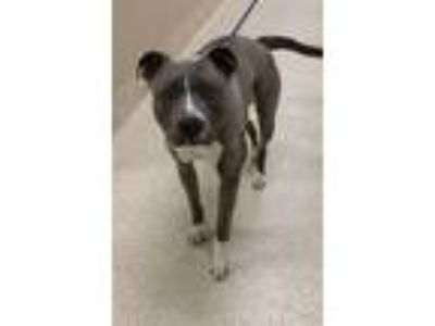 Adopt Queen a American Staffordshire Terrier / Mixed dog in Grand Rapids