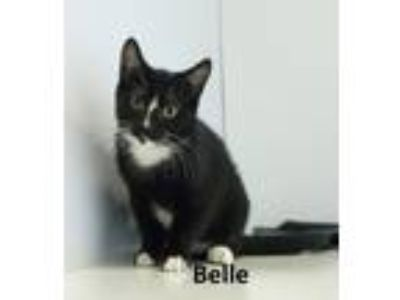 Adopt Belle a Black & White or Tuxedo Domestic Shorthair / Mixed (short coat)